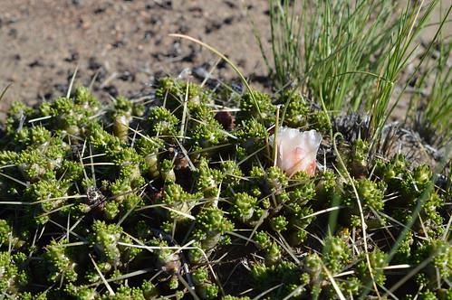 DSC_0118 Maihuenia patagonica  マイフェニア パタゴニカ