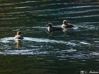 181023-04 Canards sur le lac