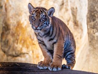 Sumatratiger - Tierpark Berlin-5
