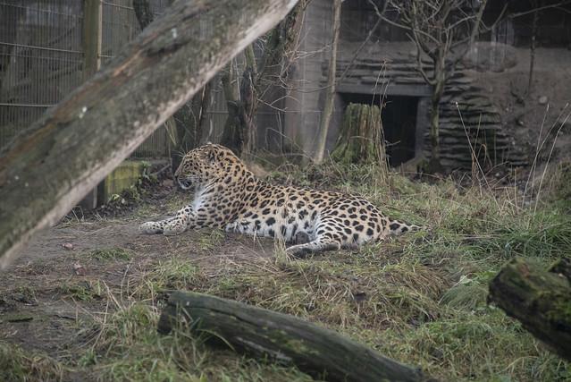 Amur leopard, Sony ILCE-7SM2, Tamron 18-270mm F3.5-6.3 Di II PZD