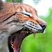 Europäischer Luchs / Eurasian lynx [Lynx lynx]