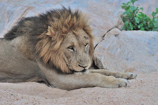 Male Lion Inyeti.1 jpg, Nikon D700, AF VR Zoom-Nikkor 80-400mm f/4.5-5.6D ED