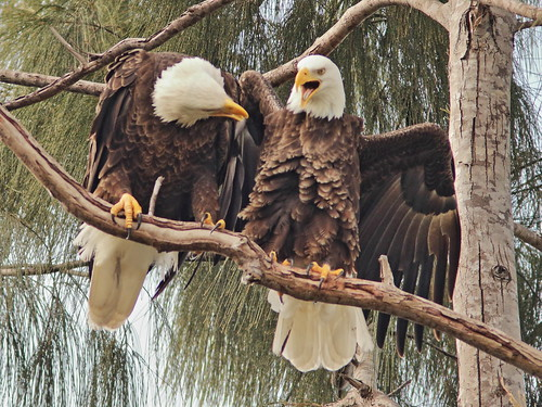 Bald Eagles Jewel and Pride 05-20181117