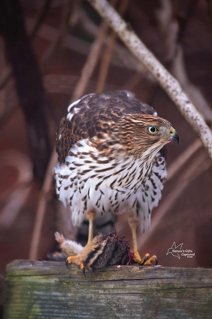Juvenile Cooper's Hawk w/ Chipmunk