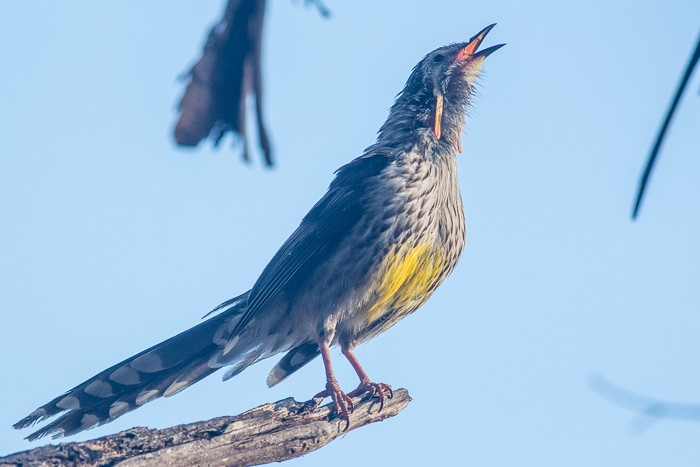 Yellow Wattlebird yelling