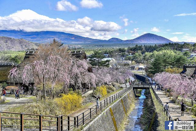 西湖療癒之鄉根場櫻花-28