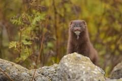 Canadian Mink