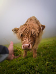 Cow with me if you want to live