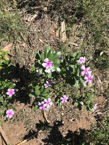 madagaskar madagascar periwinkle rosyperiwinkle catharanthusroseus