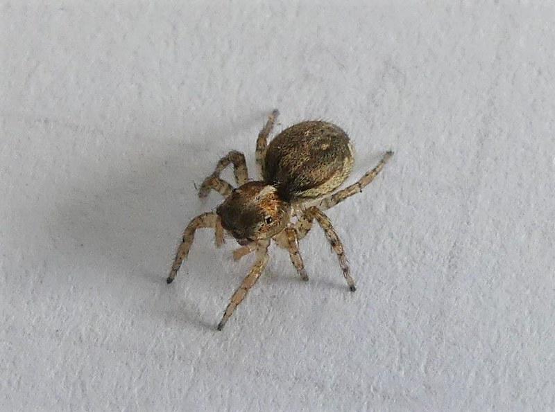 Jumping spider  N Blair