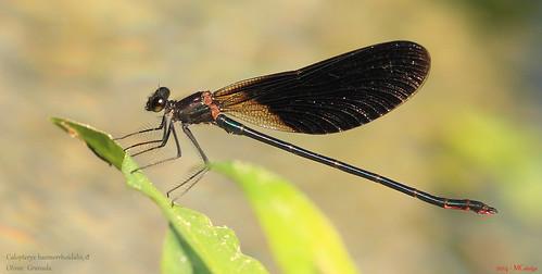 069 – Calopteryx haemorrhoidalis, ♂