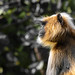 Greay Langur! by raveclix