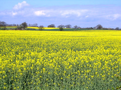 Rapeseed Fields in Shropshire