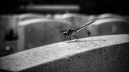 #Dragonfly rests in #sunshine atop a @commonwealthwargraves headstone at #Buttes New British #Cemetery, #Zonnebeke, #WestFlanders, #Belgium; #insta_bw #monochrome #bw #blackandwhite #blackandwhitephotography #bnw #bnw_captures #bnwlas #world_bnw #instabla