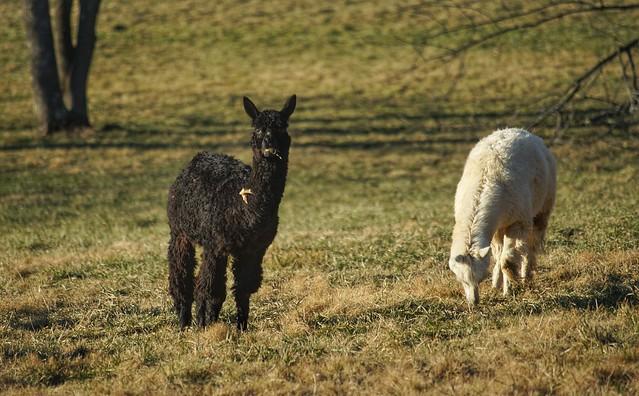 25/365 - Alpaca lunch (explored #404), Sony SLT-A99V, Minolta AF 100-300mm F4.5-5.6 APO [New]