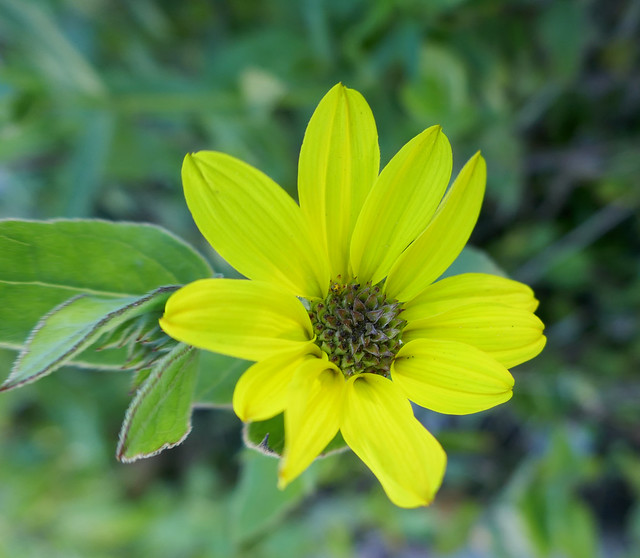 Lovely December yellow flower, Panasonic DMC-ZS100