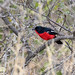 Crimson-breasted Shrike by sbuckinghamnj