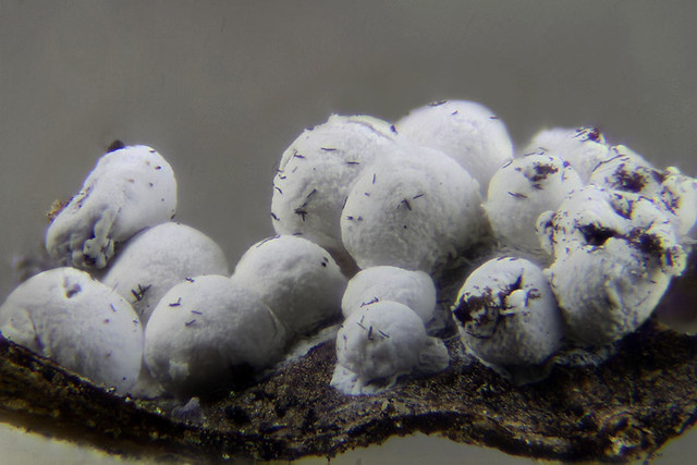 Diderma cf. spumaroides