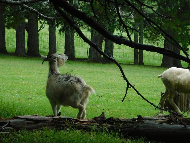 goat, Nikon COOLPIX B500