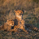 2nd - PDI. League 4 - Cheetah Mother and Cub Resting at Sunset by JUNE SPARHAM