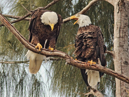 Bald Eagles Jewel and Pride 04-20181117