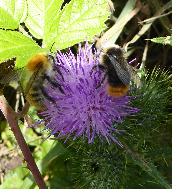 Common carder bee and red-tailed bumblebee on thistle
