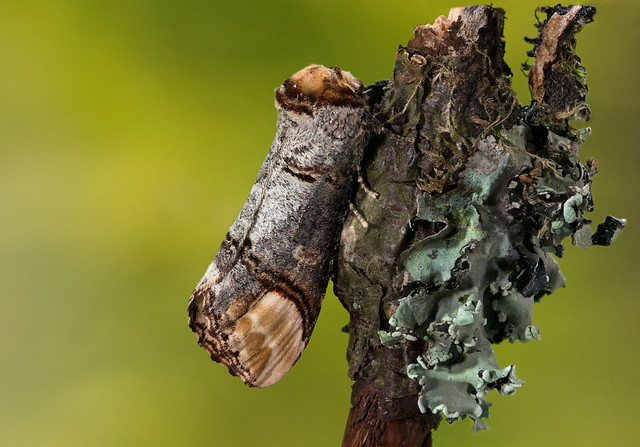 Buff-tip moth (