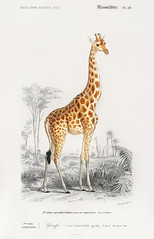 Giraffe (Giraffa camelopardalis) illustrated by Charles Dessalines D' Orbigny (1806-1876). Digitally enhanced from our own 1892 edition of Dictionnaire Universel D'histoire Naturelle.