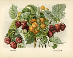 The fruit grower's guide : Vintage illustration of raspberry
