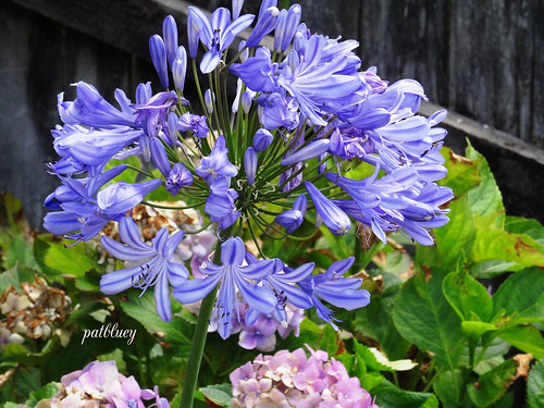 Agapanthus  in Berry