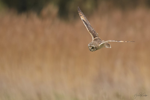 Short Eared Owl time