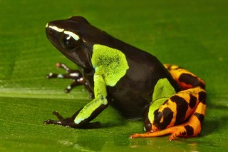 Madagascar frog