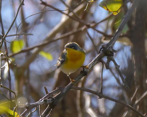 mikaelbehrens warbler bird texas corpuschristi wildlife cbc mathis unitedstates us