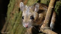 Wood Mouse by Mrs.Geordiepix