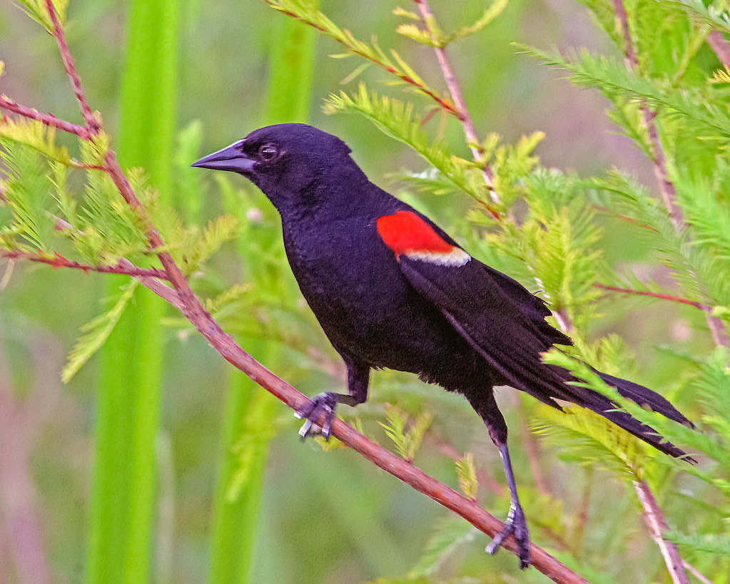 2018.07.01 Sweetwater Wetlands Red-winged Blackbird 2