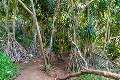 Tropical way to Queen's Bath pool Princeville Kauai Hawaii