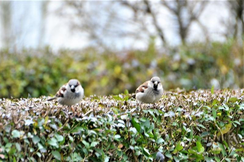 Sparrows 15.12 (21)