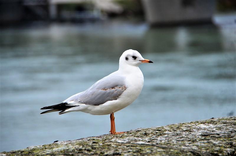 Gulls Aare 25.12 (13)
