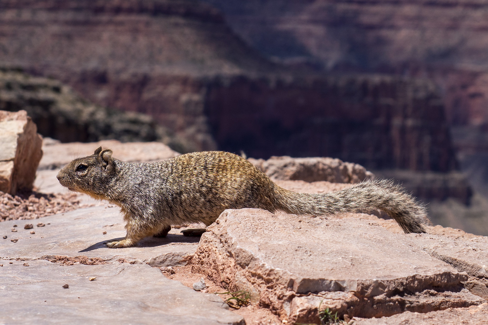 Groundsquirrel in Grand Canyon