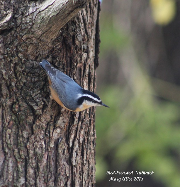 Red-breasted Nuthatch, Canon EOS 40D, Canon EF 75-300mm f/4-5.6
