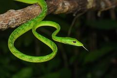 Ahaetulla mycterizans, Malayan green whip snake - Khao Phra - Bang Khram Wildlife Sanctuary