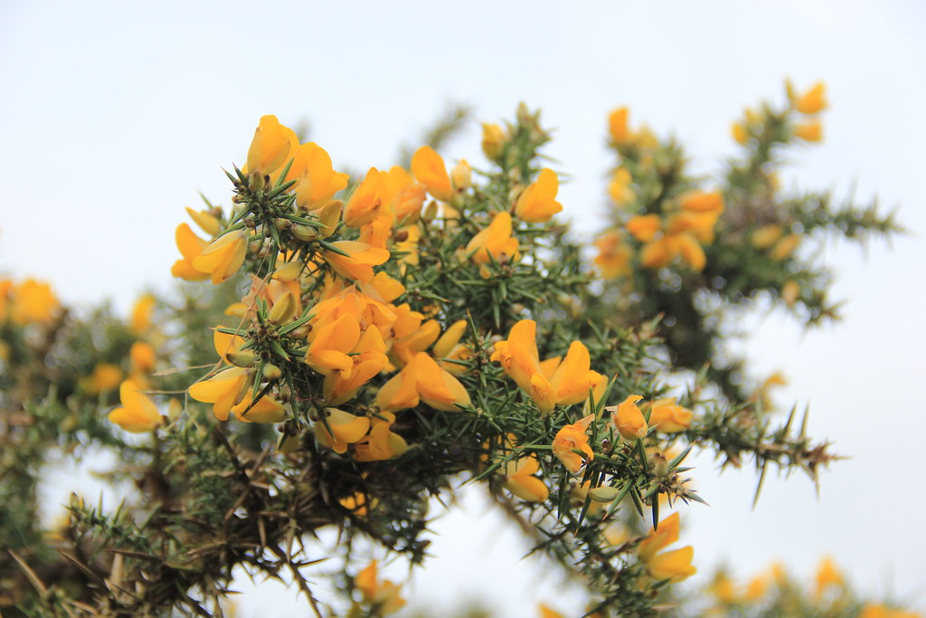 Gorse plants, Branscombe to Beer coastal path