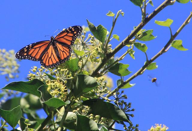 Monarch Butterfly, Canon EOS 60D, Tamron 16-300mm f/3.5-6.3 Di II VC PZD Macro