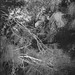 in the thicket, tangles limbs and vines, palms and pines, Jacksonville, Florida, Goerz Box Tengor, Arista.Edu 200, Ilford Ilfosol 3 developer, 11.30.18 by steve aimone