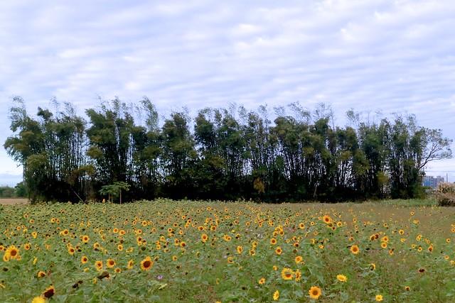 八德.向日葵 vs 竹子