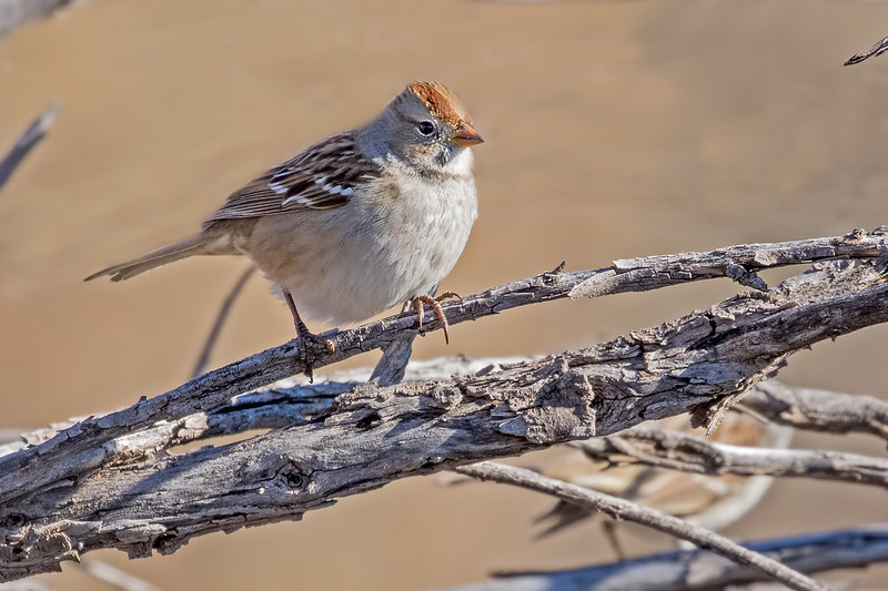 White-Crown-Sparrow-3-7D2-112518
