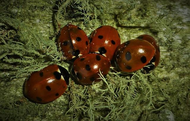 Winter Ladies in Lichen..x