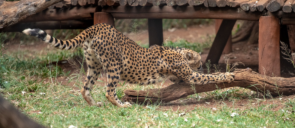 Cheetah_3