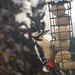 Great Spotted Woodpecker (Dendrocopos major), m