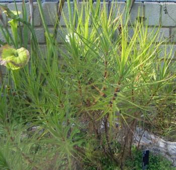 Byblis liniflora 46904488602_cfc66ac3ee_o